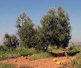 Olive Trees and Melons in the Maremma