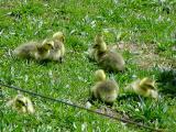 Canadaian baby geese.jpg(235)