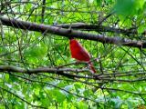 Cardinal in a tree.jpg(159)