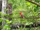 Cardinal on the fence.jpg(149)