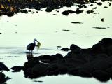 Heron Picks up Seaweed