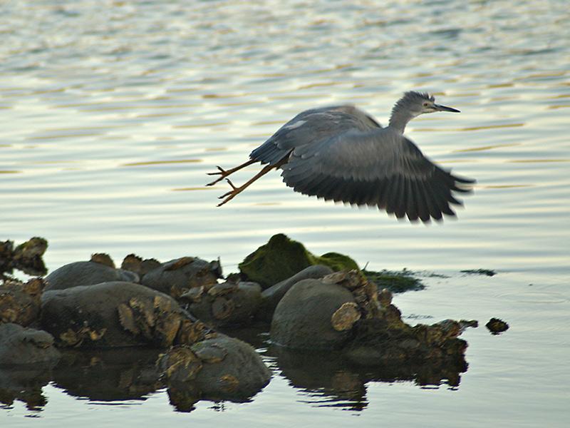 White faced heron takes off - Aorere Estuary