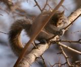 2005-01-30: Gray Squirrel in Mulberry Tree