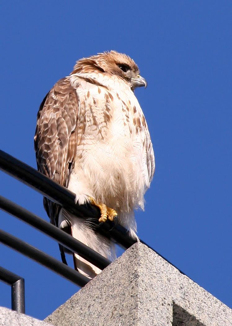 2005-01-29: Hawk on Tower