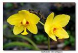 Orchid 12. Spathoglottis - Lion of Singapore