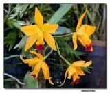 Orchid 17. Cattleya