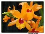 Orchid 27. Laeliocattleya 'GD'