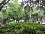 Spanish Moss on the trees, that is NOT Spanish and is NOT Moss