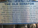 The Old Senator, Live Oak Tree