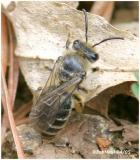 Colletes Family