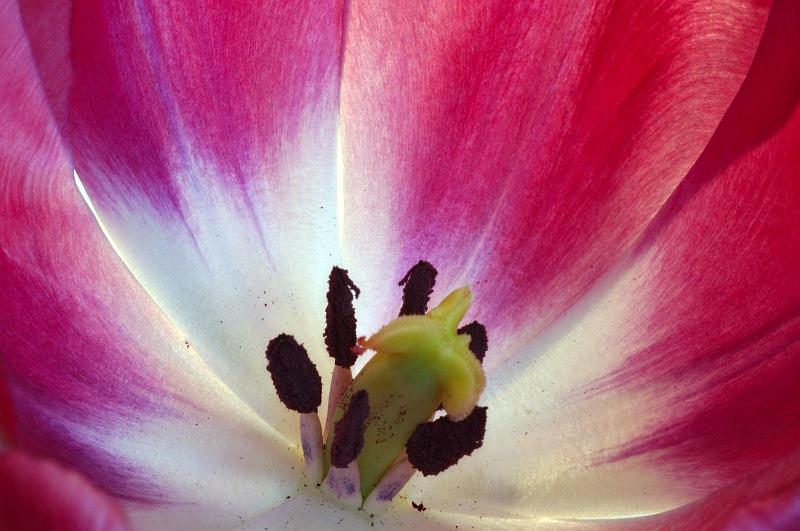Inside a pink tulip.jpg