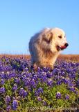 Bluebonnet Dog