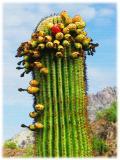 Suguaro with fruit