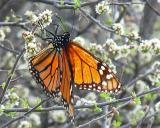 Monarch on Hackberry Bush