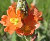 Texas Paintbrush (Wildflower)