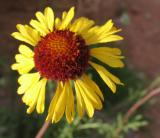 Blackeyed Susan (Wildflower)