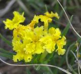 Fringed Puccoon (Wildflower)
