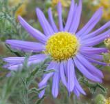 Tahoka Daisy - Prairie Aster (Wildflower)