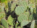 Prickly Pear Cactus (Palo Duro Canyon)
