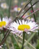 Plains Fleabane  (Wildflower)