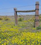 Barbed Wire and Yellow Flowers
