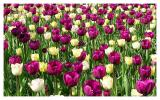 Tulips, many