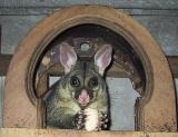 Brushtail possum residing in our garage