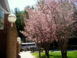 First cherry blossoms on campus
