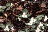 White Trillium 1