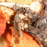 Sylvicola fenestralis