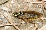 Acantholyda sp.