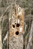 woodpecker art