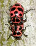 mating Spotted Lady beetles - Coleomegilla maculata