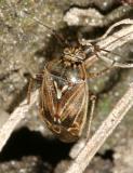 Lygus lineolaris