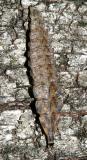 Pyractomena sp. (larva)