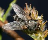 Tachinomyia sp?