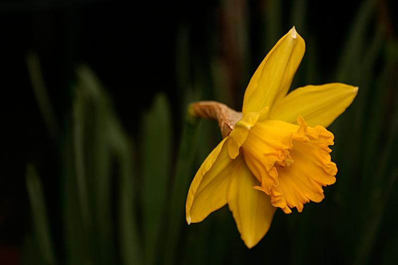 January 31st - Daffodil 2