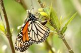 butterfly49