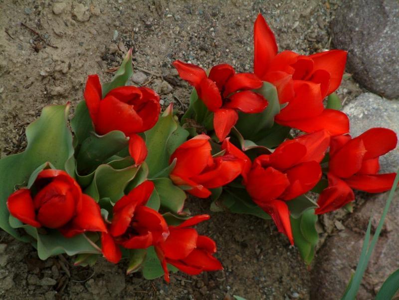Ken and Joann Trimmers tulips smallfile DSCF0015.JPG