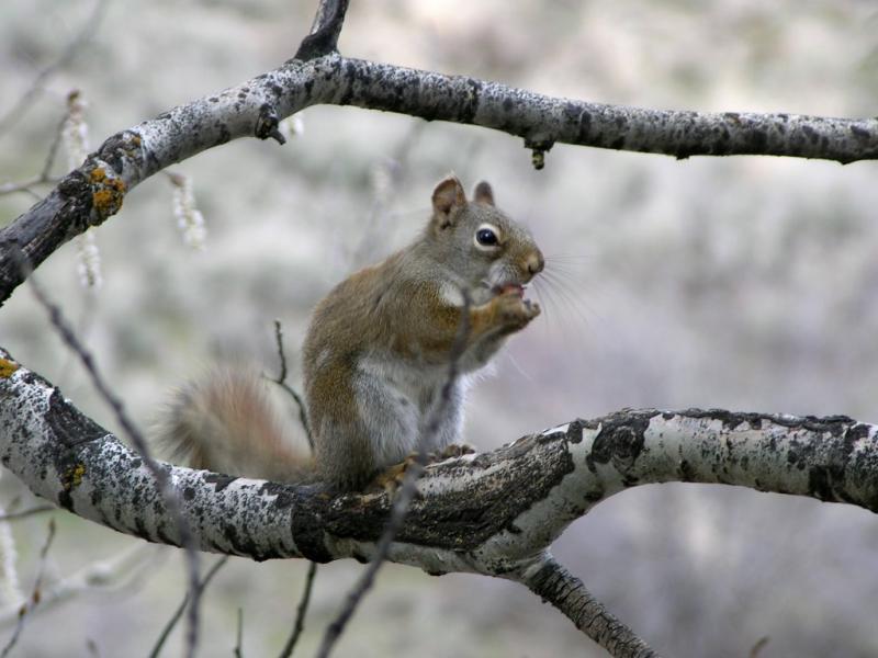 red squirrel DSCN6038.JPG
