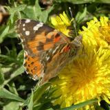 ISU butterfly on dandelion near R5 parking lot DSCN6091.JPG