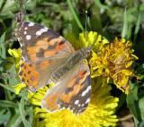 ISU butterfly DSCN6100.JPG