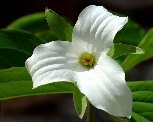 Large White Trillium 4