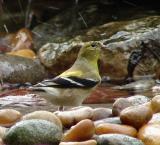 am goldfinch