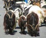 Les chèvres de Zermatt , Valais