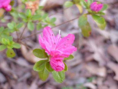 Hino-Pink
