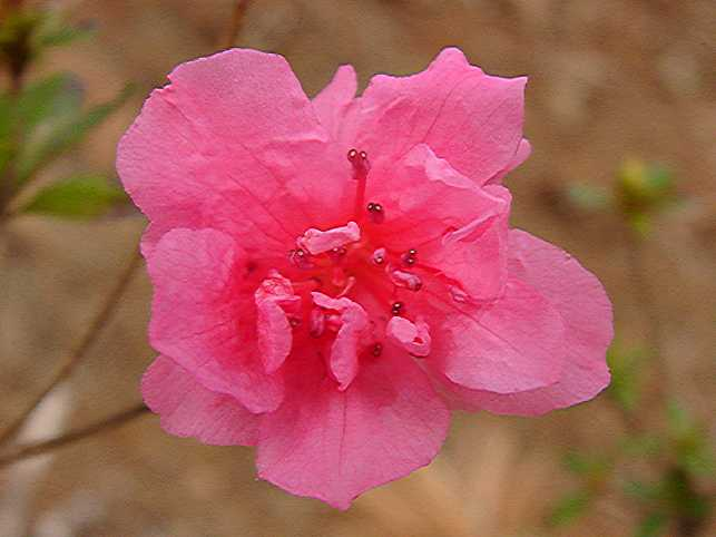 Pink Annette