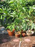 Avocado tree in 2005 we grew from seed