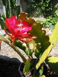 Another Cactus Blooms!