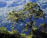 Tree near La Pajcha